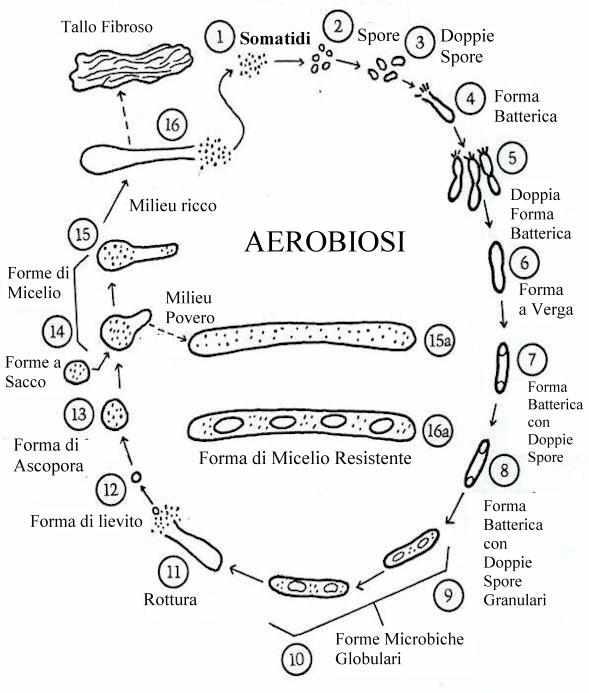 ciclo della somatide