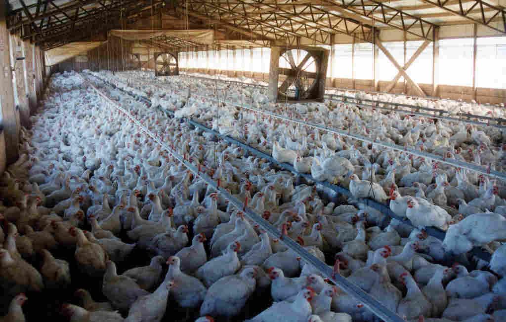 pandemia aviaria
