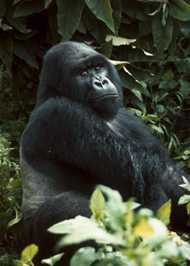 Gorilla di montagna dalla schiena argentata