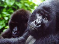 Gorilla madre con cucciolo