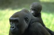 Gorilla madre con cucciolo in spalla