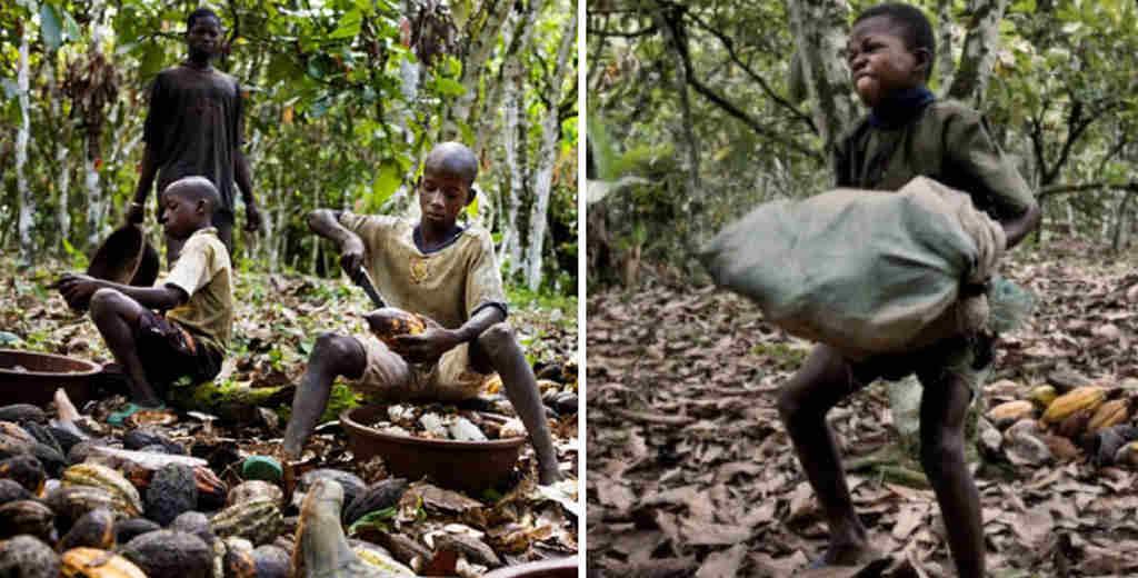 Traspoeto e apertura bacche dei cacao
