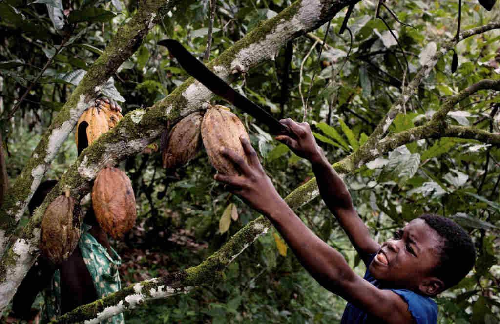 raccolta fave cacao