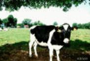 mucca nel prato