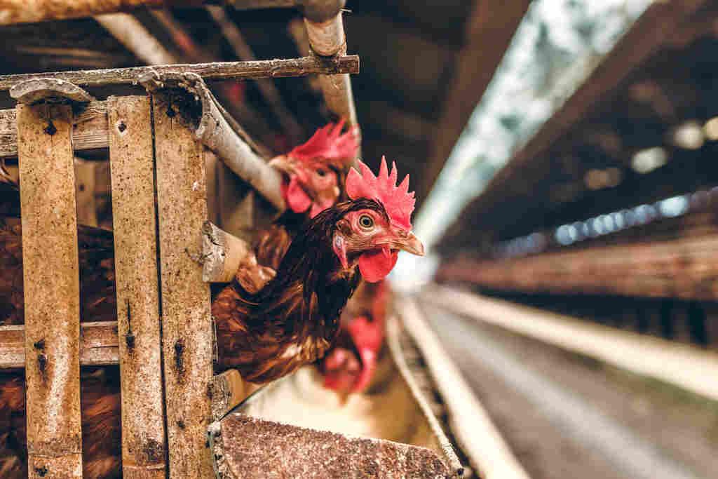 pandemia da polli in allevamenti intensivi